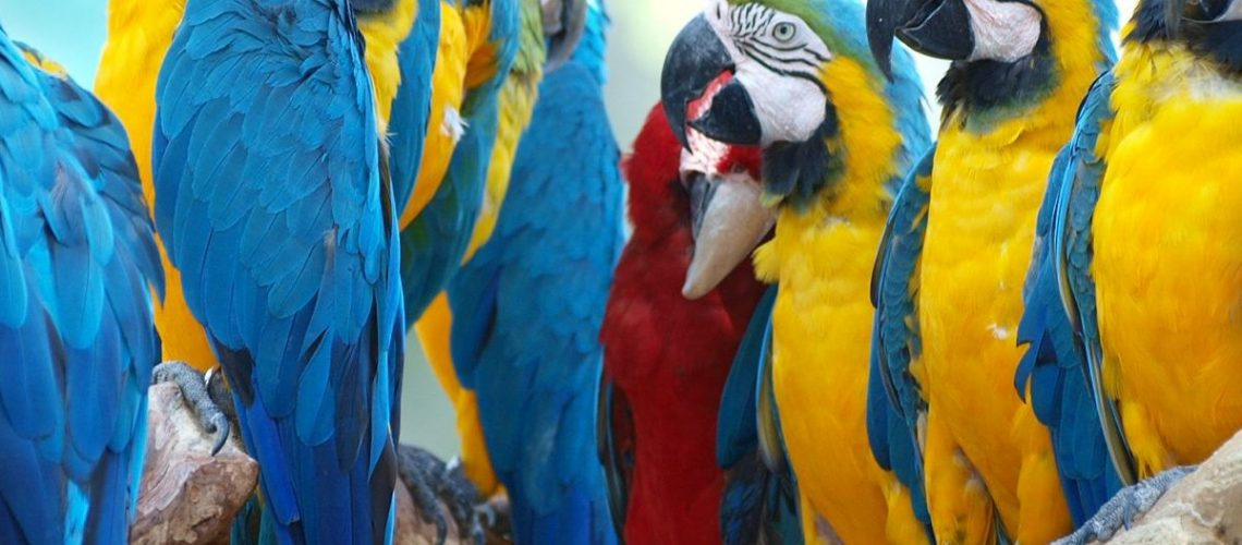 ara-ararauna-blue-and-yellow-parrots-sitting-in-a-group-on-a-tree-branch_t20_b6wLvB-1