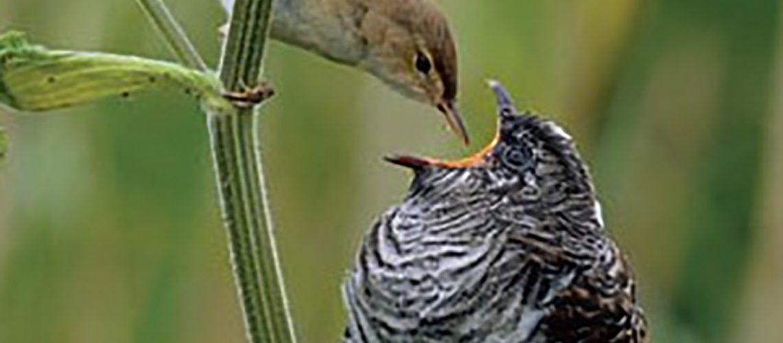 cuckoo-1